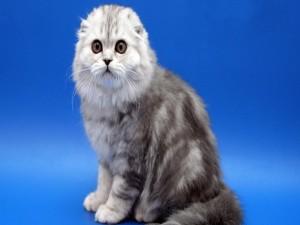 Gato con orejas pequeñas
