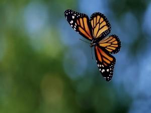 Postal: Mariposa con las alas extendidas en el aire