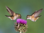 Dos colibríes en la misma flor