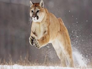 Postal: Puma saltando en la nieve