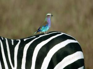 Postal: Pájaro posado en una cebra