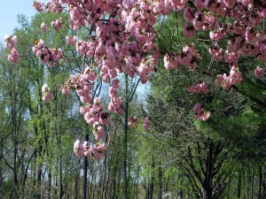 Flores rosas en el árbol