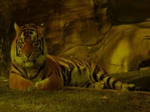 Postal: Tigre descansando en la sombra