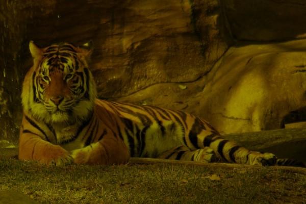Tigre descansando en la sombra