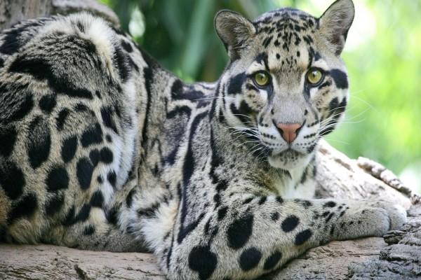 Leopardo Longibando (Neofelis nebulosa)
