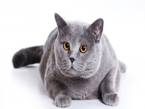 Un gato glotón