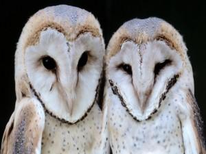 Postal: Dos lechuzas comunes (Tyto alba)