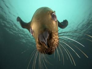 La cara de un león marino bajo el agua