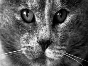 La cara de un gato vista en blanco y negro