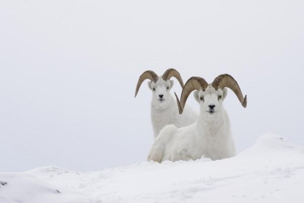 Cabras blancas en la nieve
