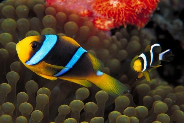 Dos peces payaso