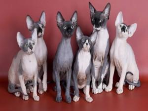 Gatos sin pelo (Sphynx)