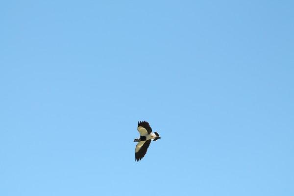 Queltehue en vuelo