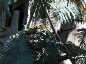 Postal: Duelo de lagartijas