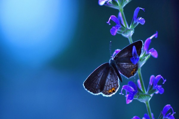 Mariposa y flor azules