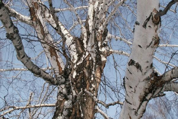 Un gran árbol sin hojas en invierno