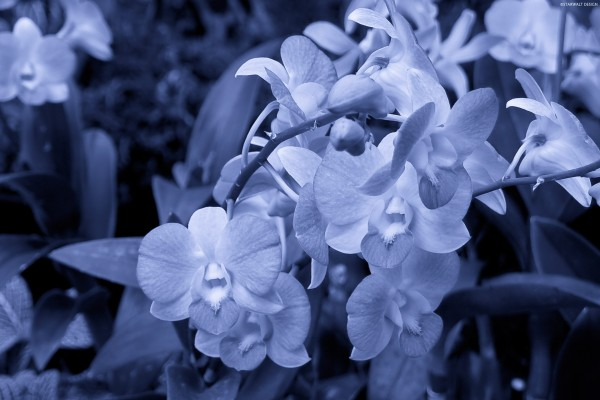Ramas de orquídeas