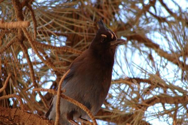 Pájaro en las ramas de un pino