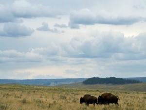 Bisonte americano en la pradera