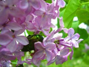 Escarabajo verde entre pequeñas flores