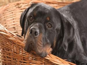 Postal: Rottweiler con cara triste