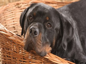 Rottweiler con cara triste