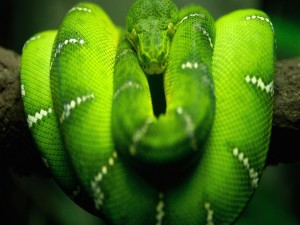 Postal: Serpiente enroscada