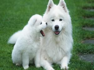 Dos perros blancos en la hierba