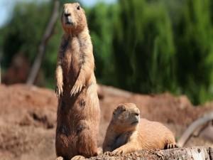 Marmotas tomando el sol