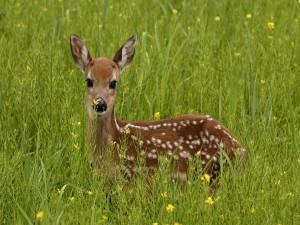 Postal: Pequeño ciervo en la hierba