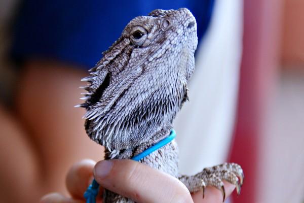 La cabeza de un lagarto y sus largas uñas