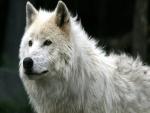 Mirada del lobo blanco