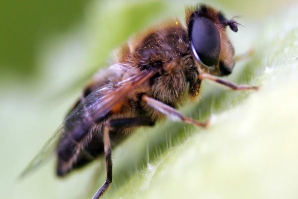 Una abeja vista de cerca