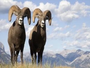 Postal: Dos cabras en su hábitat