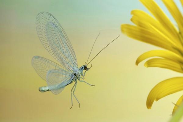 Cuerpo, patas y antenas de una mariposa de alas transparentes