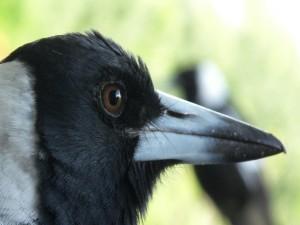 Postal: Cabeza y pico de un cuervo