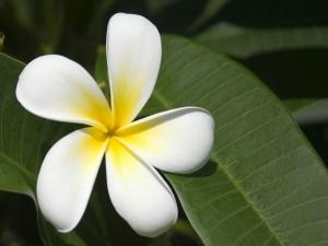 Postal: Flor de la planta plumeria