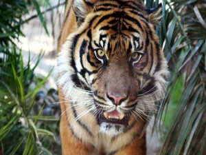Cara a cara con un tigre