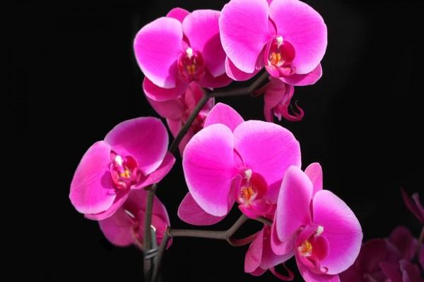 Orquídeas color rosa