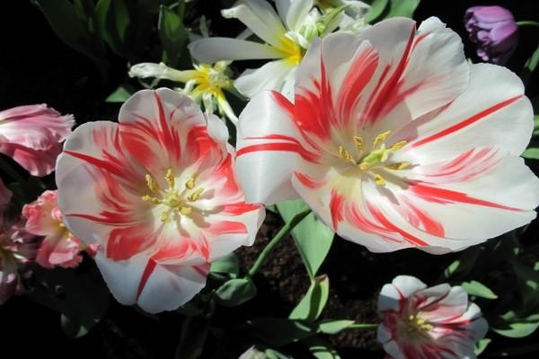 Tulipanes con pétalos blancos y rojos