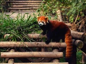 Postal: Panda rojo subido a unos troncos