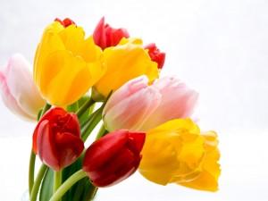 Postal: Tulipanes de tres colores