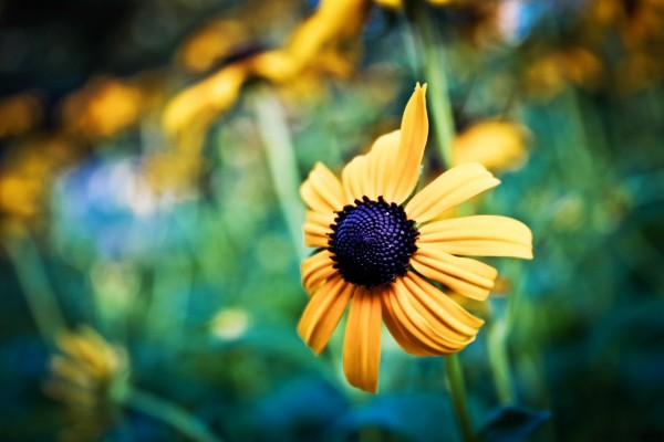 Flor amarilla con el centro negro