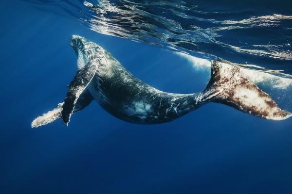 Pequeña ballena jorobada