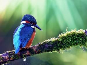Pájaro azul y rojo en una rama con una telaraña