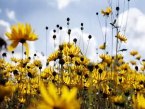 Postal: Campo de margaritas amarillas