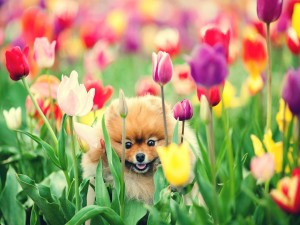 Perro pequeño entre los tulipanes