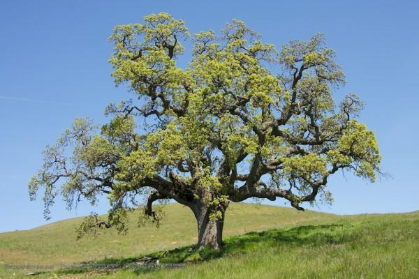 Árbol con gruesas ramas