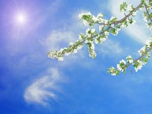 El sol da luz a las ramas con flores blancas