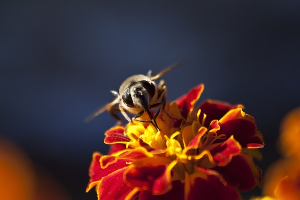 La cara de una abeja en la flor